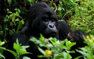3 Days Gorilla Trek Rwanda & Dian Fossey Safari