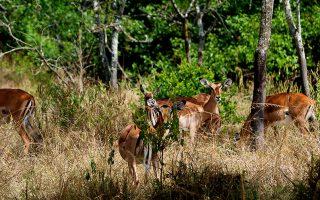 Uganda Impalas