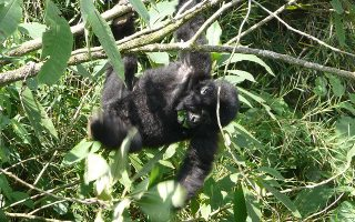3 Days Mgahinga Gorilla Safari