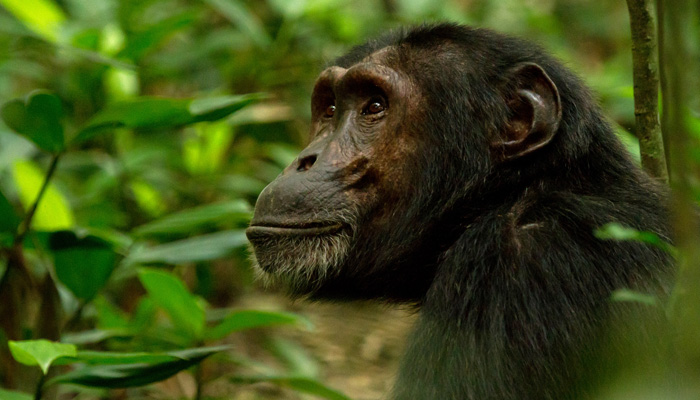3 Days Kibale Forest Chimpanzee Tracking