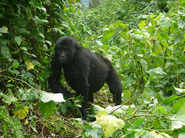 3 Days rwanda gorilla & golden monkey tour