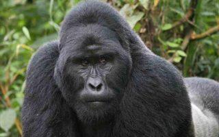 6 Days Flying Gorilla Safari