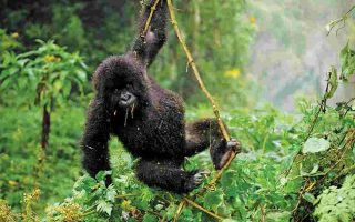 Gorilla Habituation Experience in Uganda