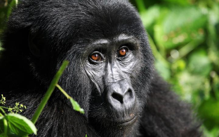 Bwenge Gorilla Family
