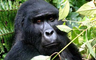 Bweza Gorilla Family