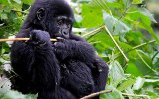 Gorilla Groups in Nkuringo