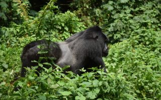 Katwe Gorilla Group
