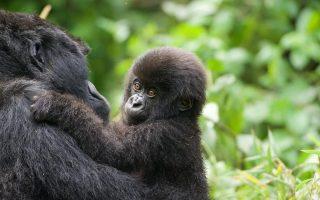 Mountain Gorillas in Africa