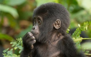 Mubare Gorilla Group