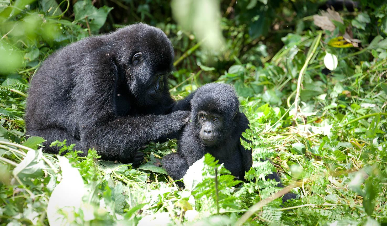 Nshongi Gorilla Family