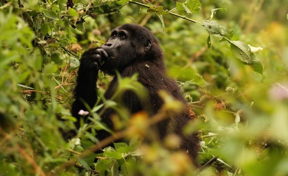 Christmas gorilla group
