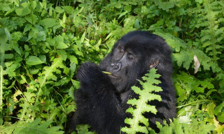 Munyaga Gorilla Group
