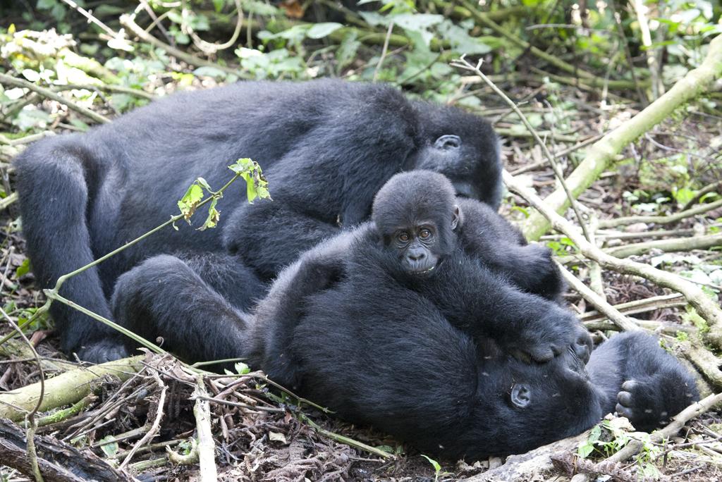 5 Days Uganda gorilla and wildlife safari