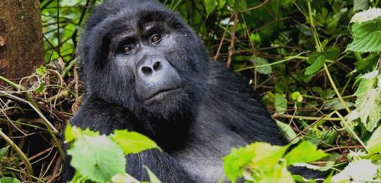 2 Day Uganda Gorilla Trekking From Kigali tour