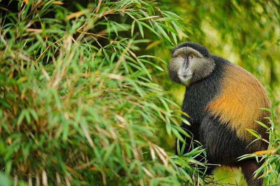4 Days Uganda Rwanda Primates tour
