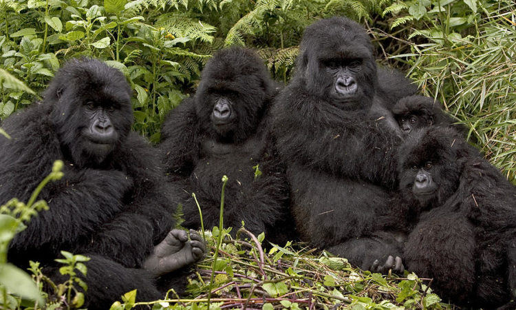 Gorilla Families in Volcanoes National Park