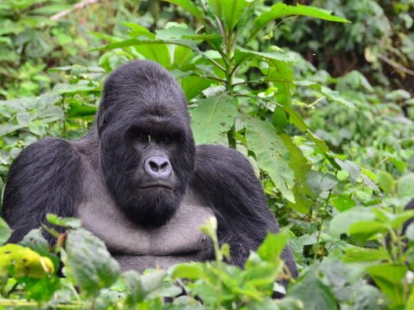 Gorilla in Bwindi - 6 Days Uganda Tour