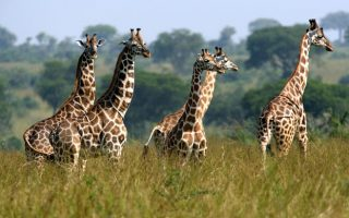 14 Days Uganda Wildlife Safari