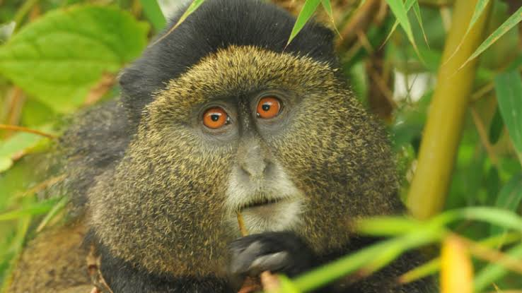 Primate Viewing in Uganda