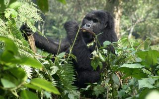 Gorilla Trekking in Uganda from Rwanda