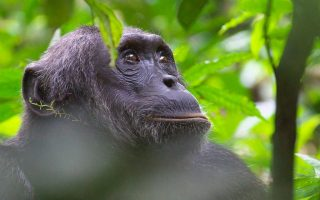 Gorilla and Chimpanzee Habituation tours in Uganda