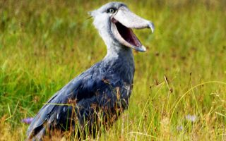 Shoebill Stork Tours