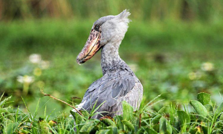 Shoebill Stork Tours