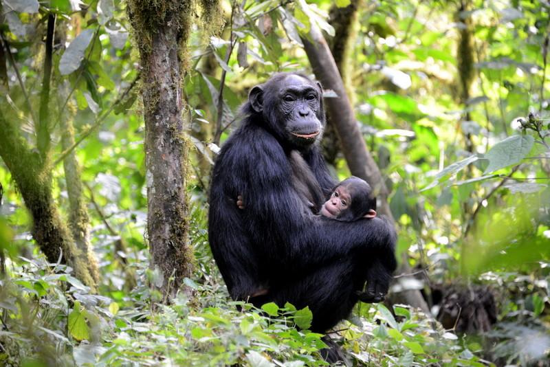 3 Days Kibale Chimpanzee Trekking Safaris