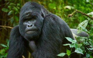 4 Days Congo Gorilla Trekking & Nyiragongo Hike Safari