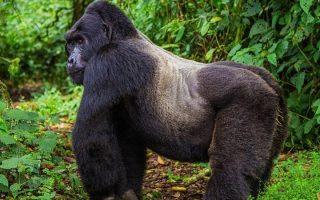 4 Days Uganda Gorilla & Golden Monkey Trekking