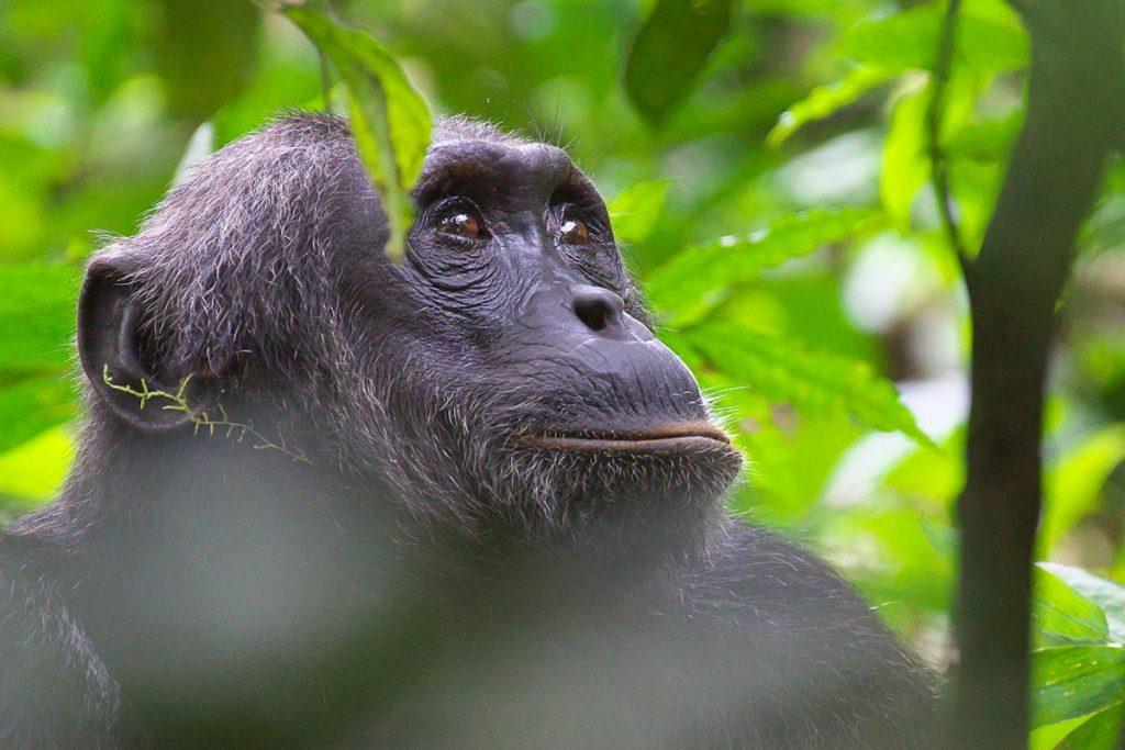 5 Days Uganda Gorillas & Chimpanzee Safari