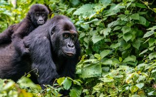 7 Days Bwindi, Queen & Kibale Safari