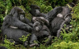 Gorilla Trekking in Buhoma Sector