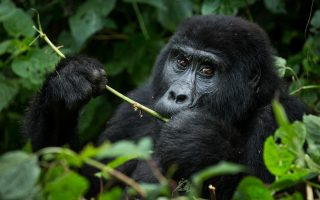 Gorilla Trekking in Rushaga Sector