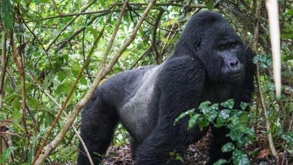 Silverback Gorillas in Uganda