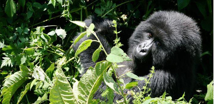 4 Days Uganda Primate Safari (Chimpanzees & Gorilla Trekking)