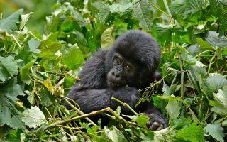 14 days Uganda gorilla and wildlife safari