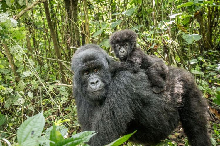 19 Days Best Of Uganda safari