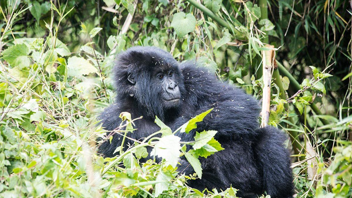 3 days gorilla habituation Uganda from Kigali