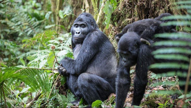 4 days Bwindi Gorillas and Ngamba Chimpanzee safari