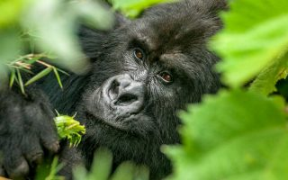 7 days Bwindi Gorillas and Masai Mara wildlife safari