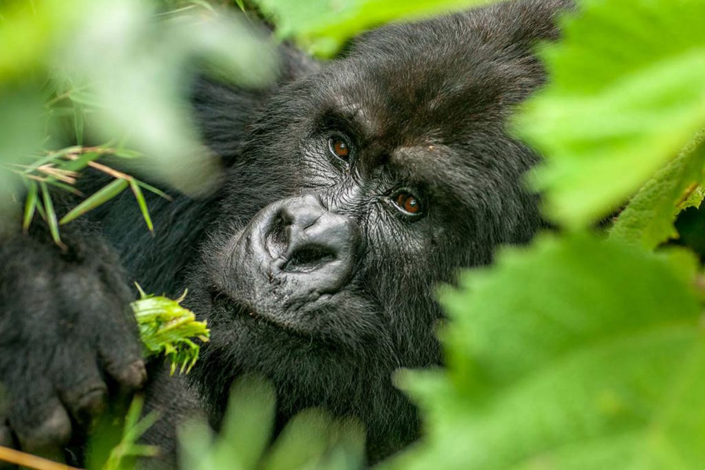 7 days Bwindi Gorillas and Masai Mara wildlife safari