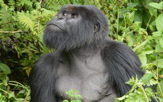 7 Days Congo Gorilla & Nyiragongo hiking safari