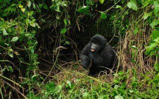 6 Days Great Ape Safari (Chimps, Gorillas and Nyiragongo)