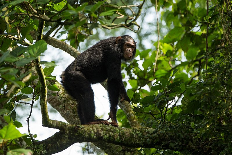 6 Days Great Ape Safari (Chimps, Gorillas and Nyiragongo)