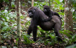 4 Days Kahuzi Beiga Lowland Gorilla Trekking Safari in Congo