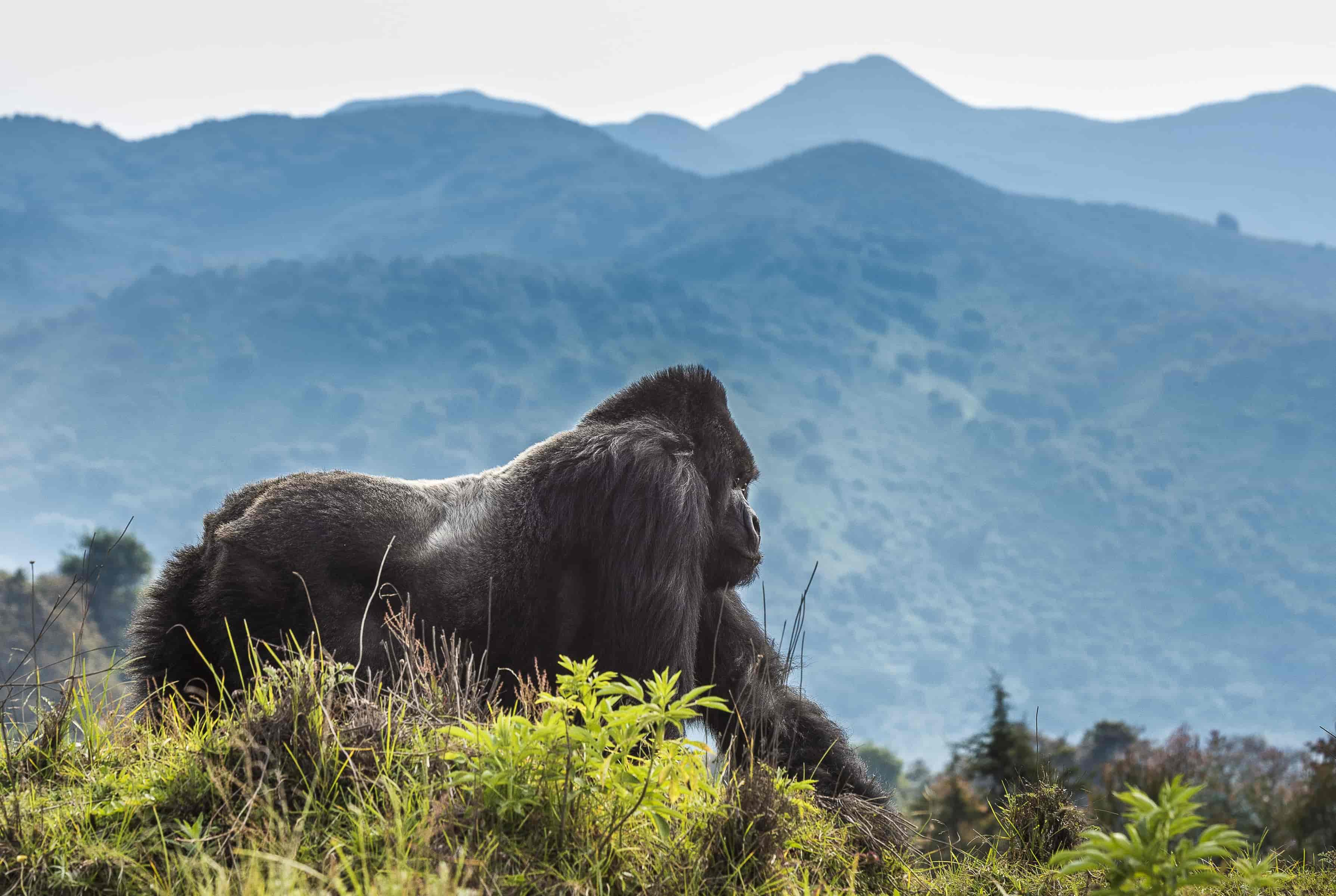 7 days Mountain gorilla trekking safari (Uganda, Rwanda & Congo)