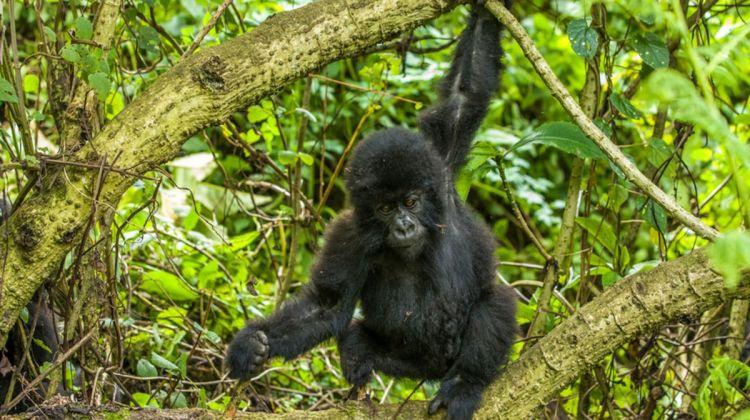 14 days Uganda, Rwanda & Congo Gorillas, wildlife & Nyiragongo safari