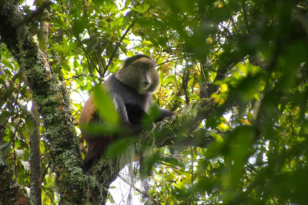 5 Days Uganda Gorilla & Golden Monkey Trekking Safari