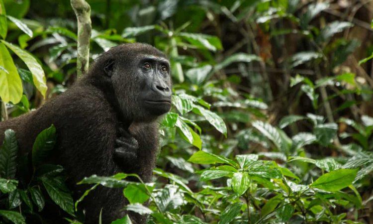 3 Days Congo Eastern lowland gorilla trekking safari